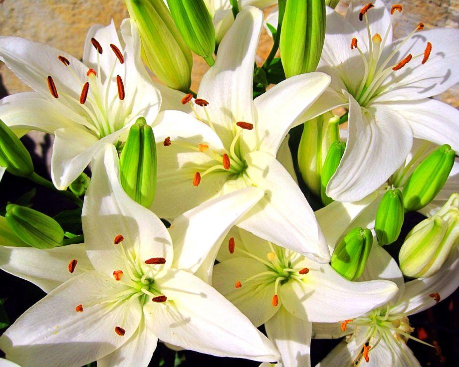 Шикарные белые лилии